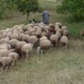 Hirte mit Schafen